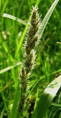 Carex vulpina1.jpg