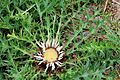 Carlina acaulis Prague 2011 1.jpg