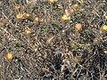 Carlina racemosa Habitus Tamaral SierraMadrona.jpg