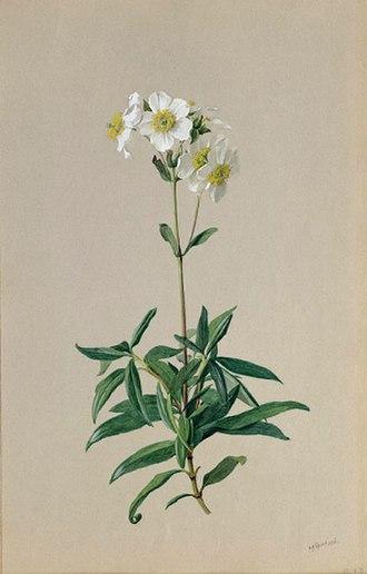 "Albert Robert Valentien - ""Carpenteria californica (Tree anemone)"" (c.1908–1918), Valentien Collection, San Diego Natural History Museum."