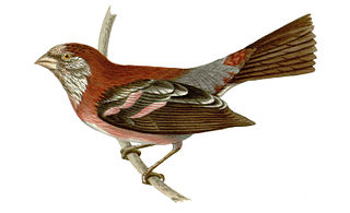 Three-banded rosefinch