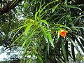 Cascabela thevetia 10.JPG