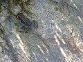 Cascade Frog (a5ac30f4f8a54dc1be15deb8fe77fdd4).JPG