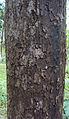 Cashew nut tree bark.jpg