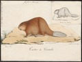 Castor canadensis - 1700-1880 - Print - Iconographia Zoologica - Special Collections University of Amsterdam - UBA01 IZ20400229.tif
