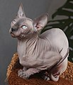 Cat Sphynx. img 005.jpg
