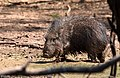 Catagonus wagneri en el Parque Nacional Teniente Enciso, Boquerón, Paraguay.jpg