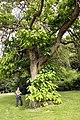 Catalpa bignonioides JPG6Aa.jpg