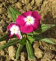 Catharanthus roseus Pacifica Burgundy Halo-Madagascar Periwinkle.JPG