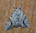 Catocala amica – Girlfriend Underwing Moth? -3 from 7-6-14 (14436236820).jpg