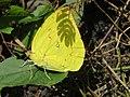 Catopsilia pomona Fabricius, 1775 – Lemon Emigrant at Mayyil (4).jpg