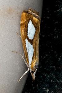 Catoptria pinella, Lodz(Poland)(js).jpg