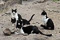 Cats in Catania Amphitheatre 2925.jpg