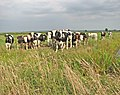 Cattle in the Norton Marshes - geograph.org.uk - 1442575.jpg