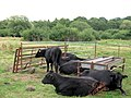 Cattle on Bookham Common - geograph.org.uk - 1416499.jpg