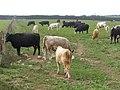 Cattle on Portesham Hill - geograph.org.uk - 242795.jpg