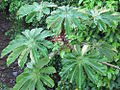Cecropia obtusifolia (11362261585).jpg
