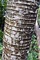 Cecropia obtusifolia 10zz.jpg
