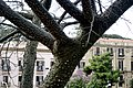 Ceiba speciosa-Kapokier.jpg