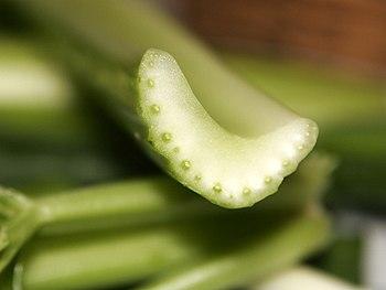 Cross section of celery stalk, showing vascula...