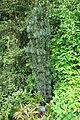 Cephalotaxus harringtonia 'Fastigiata' - Tyler Arboretum - DSC01741.JPG