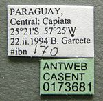 Cephalotes incertus casent0173681 label 1.jpg