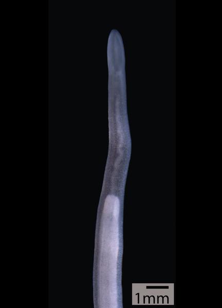 File:Cephalothrix filiformis.png