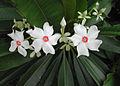 Cerbera manghas flower.jpg