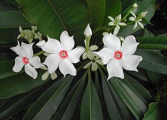 Cerbera manghas - Image: Cerbera manghas flower