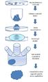 Cerebral organoid flowchart.png