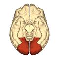 Cerebrum - occipital lobe - inferior view.png