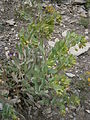 Cerinthe minor 001.JPG