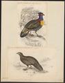 Ceriornis melanocephala - 1700-1880 - Print - Iconographia Zoologica - Special Collections University of Amsterdam - UBA01 IZ16900169.tif