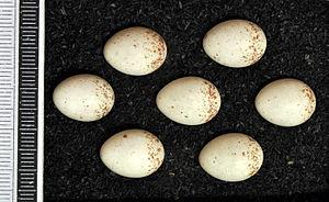 Eurasian treecreeper - Eggs, Collection Museum Wiesbaden