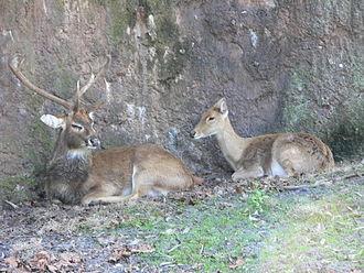 Eld's deer - Image: Cervus eldii 1
