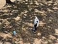 Chèvre Parcelle près Place Champ Foire - Marcigny - 2020-08-15 - 2.jpg