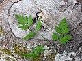 Chaerophyllum temulum leaf (23).jpg