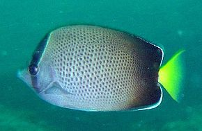 Description de l'image Chaetodon dolosus.jpg.