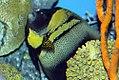 Chaetodon lunula 15zz.jpg