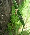 Chalcolestes viridis.JPG