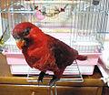 Chalcopsitta cardinalis -pet-6a.jpg