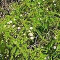 Chamaebatia australis 4.jpg
