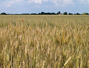 Economy of France - A wheat field in Île-de-France region.
