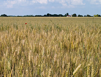 Seine-et-Marne - Wheat field near Saint-Fargeau-Ponthierry