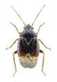 Charagochilus gyllenhalii 1.png