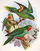 Drawing of two green parrots with lighter bellies and red faces and necks, and one with no red and yellow and maroon stripes on underside of wings