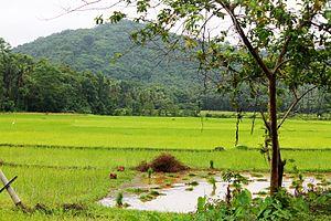 Cheriyoor - Paddy fields in Cheriyoor