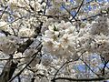 Cherry Blossom Washington, DC April 12 2015.jpg