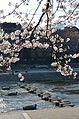 Cherry blossom 2011 (5640993927).jpg