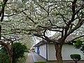 Cherry blossom at St Thomas the Apostle.jpg